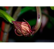 Queen of the night bud. Photographic Print