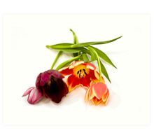 Cutout of tulip flowers on white background Art Print