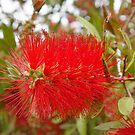 Bottle-brush tree in flower by nzpixconz