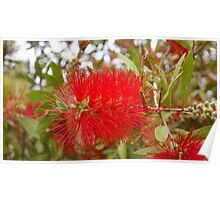 Bottle-brush tree in flower Poster