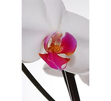 White Phaleanopsis Orchid on white background Photographic Print