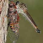 Robberfly With Prey by Andrew Trevor-Jones
