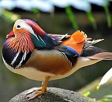 Mandarin Duck, Singapore. (2) by Ralph de Zilva