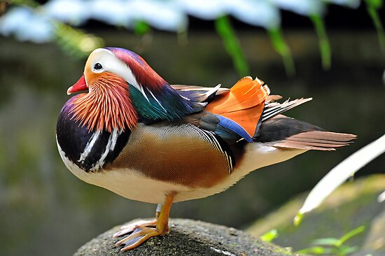 Mandarin Duck, Singapore. (2) by Ralph de Zilva
