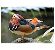 Mandarin Duck, Singapore. (2) Poster