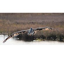 Pelican Wingspan Photographic Print