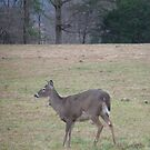Cades Cove Deer-Great Smoky Mountains National Park by JeffeeArt4u