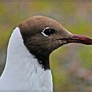 Seagull portrait  by Brown Sugar. award winning image is now eligible for submission to DeeZ5Cs Award Showcase Group. Views (21) favorited by (3) tvm !!! by © Andrzej Goszcz,M.D. Ph.D