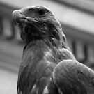Hawk by 7thsensephoto