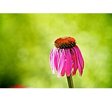Flower | Daisy Photographic Print