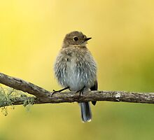 I thought it was a Thornbill at the time , not sure  now by Ron Co