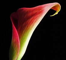 Calla Lily by Robin Lee