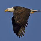 Bald Eagle by craigbregar