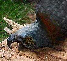 New Zealand Kaka by nzpixconz