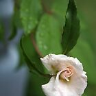 Minature rose in rain by Melissa Brett