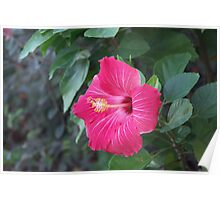 Veined Hibiscus Poster