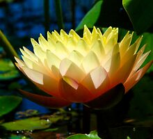 Glowing Temple Lotus by Clare McClelland