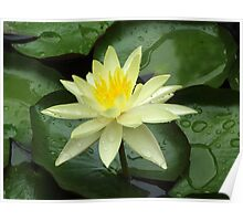 Yellow Waterlily with Waterdrops Poster