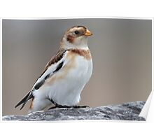Snow Bunting  Poster