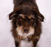 Snowy Terrier by John Attebury