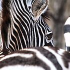 I am unique - Burchell's zebra (Equus burchelli) by Sandy Beaton