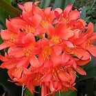 Clivia or Kaffir Lily by Trish Meyer