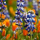 California wild flowers by Kimberly Kay Spies