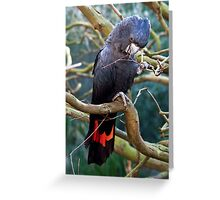 Red Tailed Black Cockatoo. Greeting Card