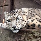 Snow Leopard by John Sharp