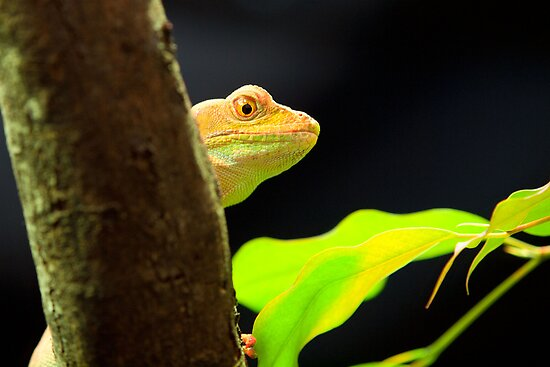 Madagascan Day Gecko by John Sharp