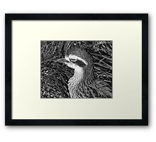 Beach-stone Curlew or Thick-Knee Framed Print