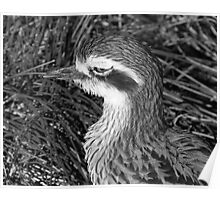 Beach-stone Curlew or Thick-Knee Poster