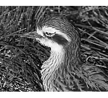 Beach-stone Curlew or Thick-Knee Photographic Print