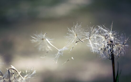 Wish upon a dandelion . . by yolanda