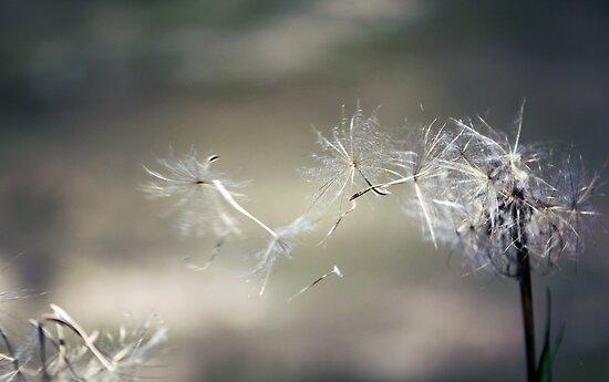 Wish upon a dandelion . . by yolanda