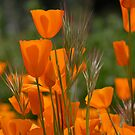 California poppies by Kimberly Kay Spies