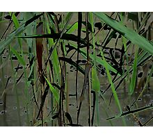 Fickle Reeds Photographic Print