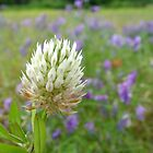 Big White Clover And Friends by Carolyn  Fletcher