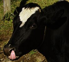 When a Cow Laughs by Pamela Phelps