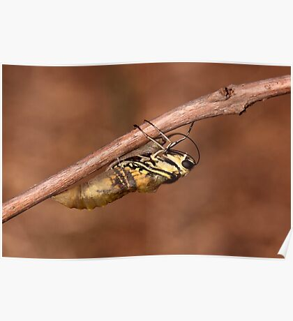 butterfly emerging from its cocoon Poster