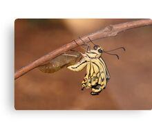 butterfly emerging from its cocoon  Metal Print