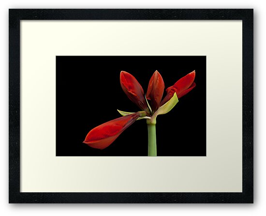 Red Amaryllis by Paul Kampman