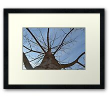Maple Tree in early spring Framed Print