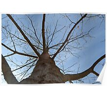 Maple Tree in early spring Poster