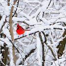 Winter Cardinal by jckiss