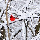 Winter Cardinal by jckiss