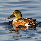 Male Northern Shoveler Duck by Kathy Baccari
