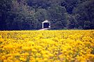Fields of Yellow by Grinch/R. Pross