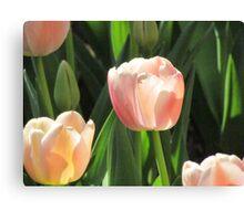 Apricot tulip Canvas Print