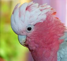 I'm In The Pink - Galah - NZ by AndreaEL